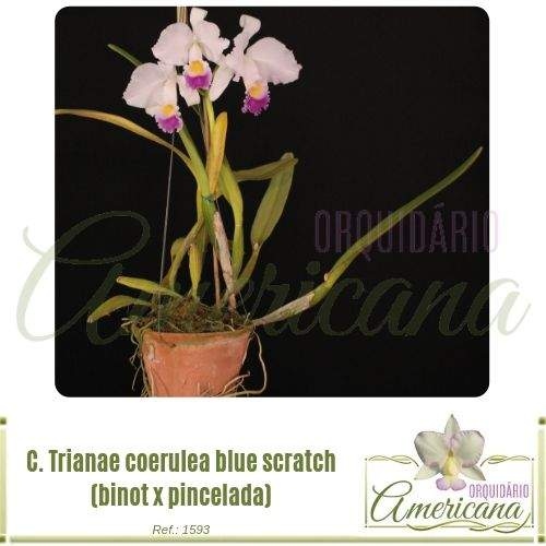 Cattleya Trianae Coerulea Blue Scratch Binot X Pincelada